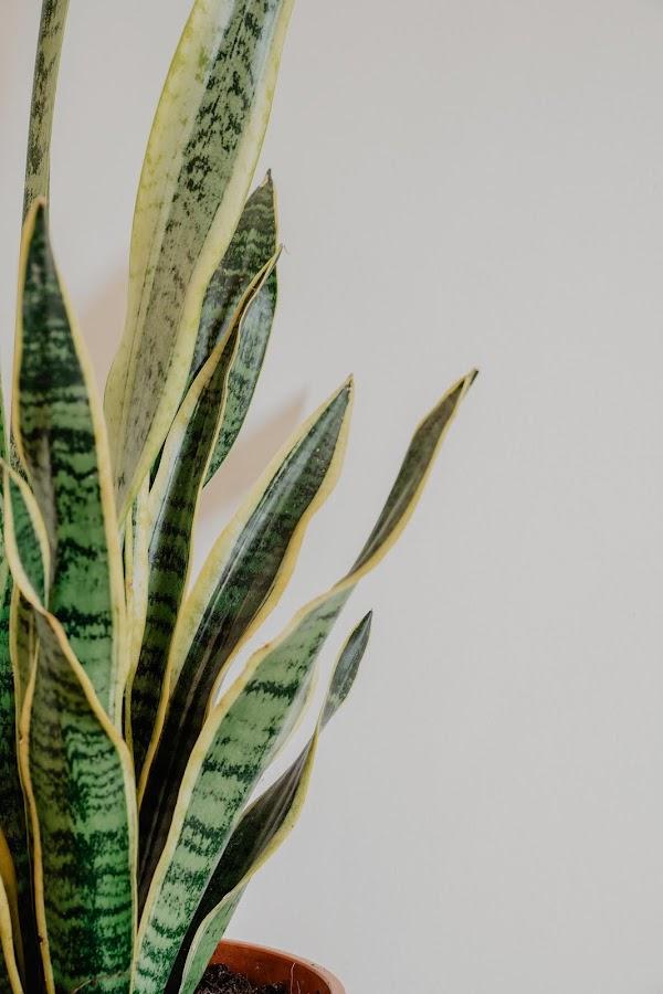 lengua de suegra, espada de san jorge, planta, plant, urban jungle,