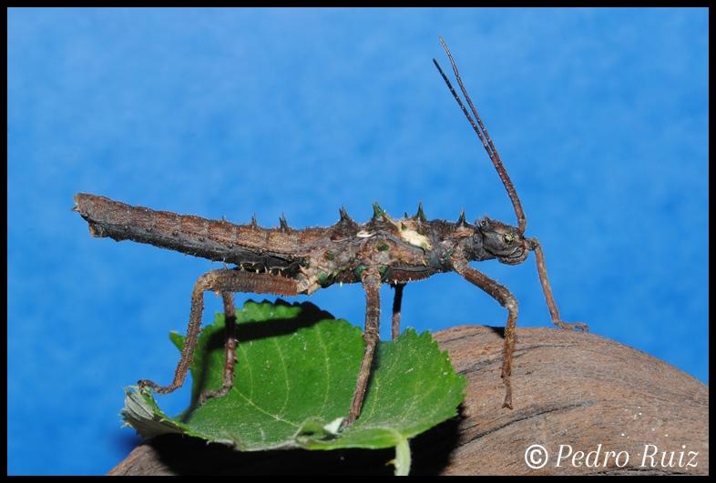 Ninfa macho L4 de Haaniella dehaani, 5,5 cm de longitud