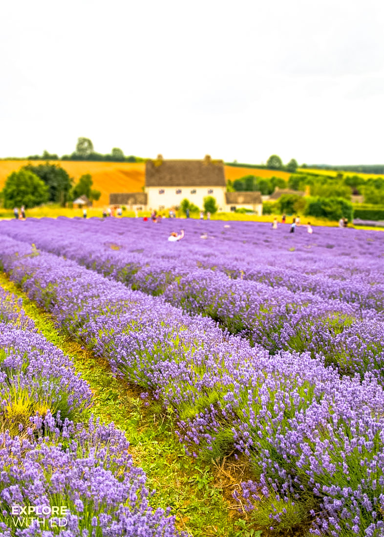 Cotswold Lavender Farm near Broadway in England