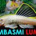 Pengalaman 2 Bulan Memelihara Pleco Albino di Aquarium Ikan Mas Koki: Pembasmi Lumut Bersahabat