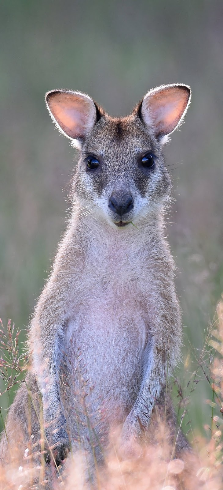 Picture of a cute wallaby.