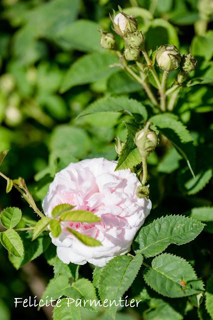 Impressionen aus dem Rosengarten, Pomponetti, Felicité Parmentier
