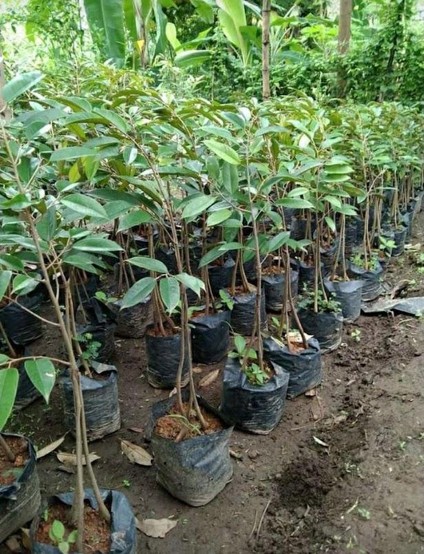 bibit durian kaki 3 bawor okulasi cepat berbuah Kalimantan Tengah