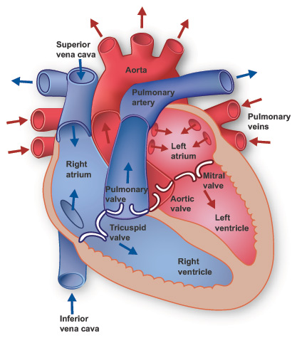 Health Care: Human Heart Anatomy Pics