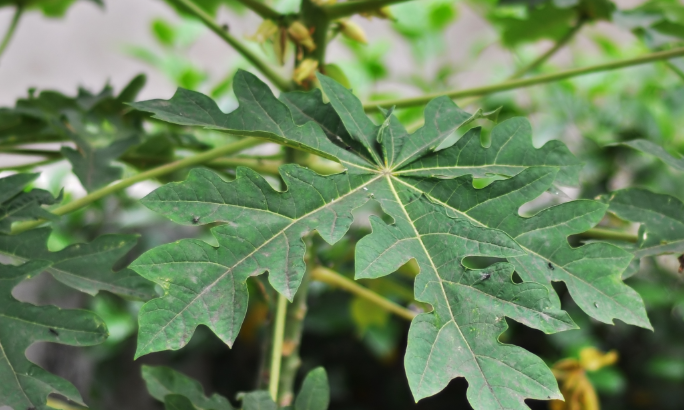 cara menghilangkan bekas jerawat dengan daun pepaya