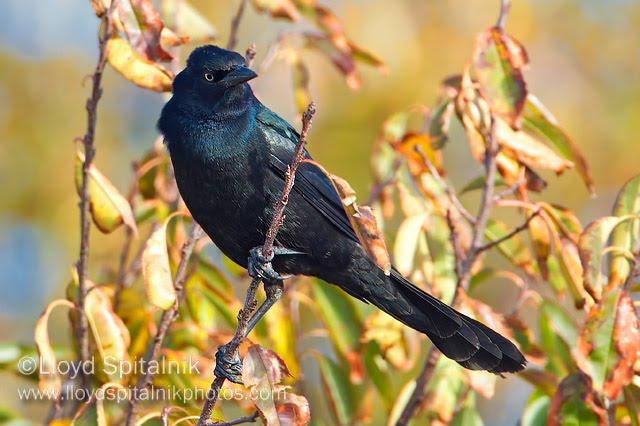 Marie Winn's Central Park Nature News: 2011-04-10  Marie Winn'...