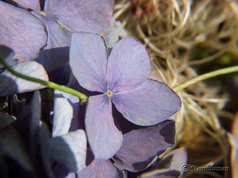 blaue Hortensien trocknen