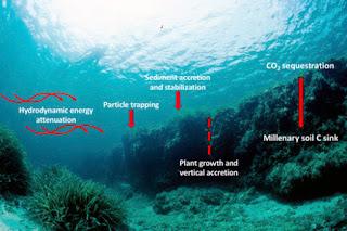 ब्लू कार्बन क्या है ?        What is Blue Carbon ?