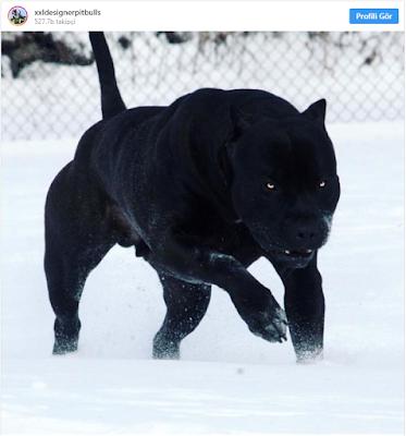 15. Prague, le Pitbull, est très souvent comparé à une panthère noire en raison de son rare manteau noir de jais.