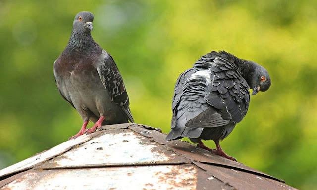 Cómo eliminar plagas de aves urbanas