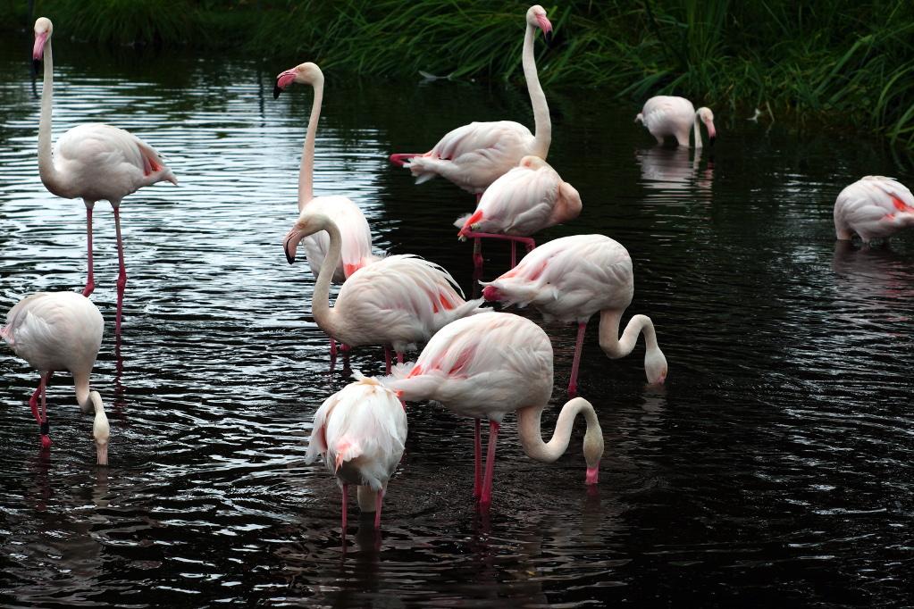 #114 Ysaron f4.5 105mm - Flamingos in der Stuttgarter Wilhelma