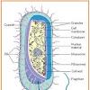 10 Ciri Ciri Bakteri, Penjelasan, dan Gambar Ilustrasinya