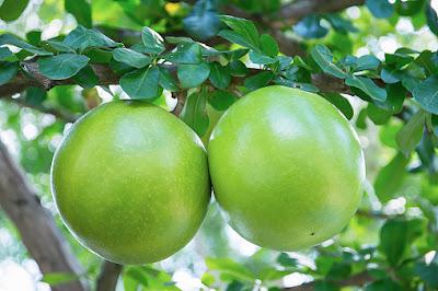 efek samping buah berenuk