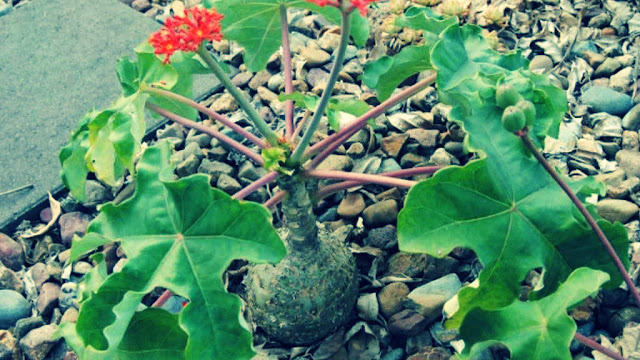 Buddha Belly Plant Medicinal Uses