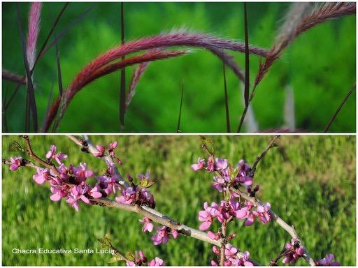 Espigas de pennisetum / Rama en flor - Chacra Educativa Santa Lucía