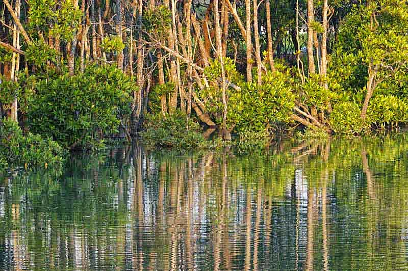 mangroves, river, reflection