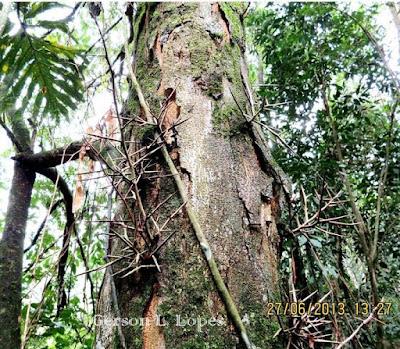 Gleditsia amorphoides tronco