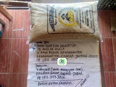 Benih Ketan Pesanan    EDWIN HARSIM PRASETYA Cilacap, Jateng.    (Benih Sebelum di Packing).