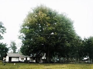 pohon bintatar di tengah kota pangururan