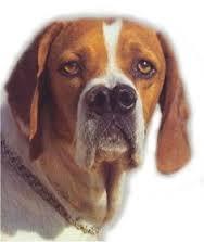 Anjing Ras Catalburun