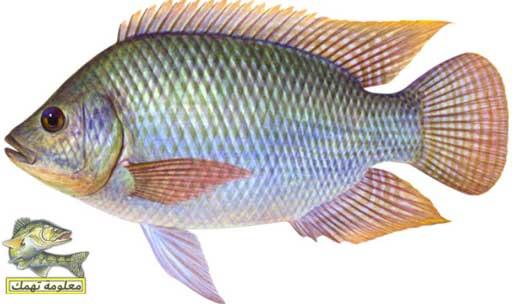 صيد السمك البلطي بالغلة في النيل