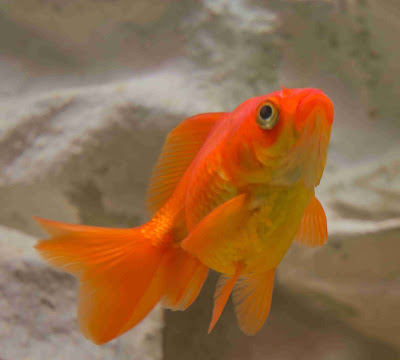 Goldfish Mating: How do goldfish mate? How are fish born? Are goldfish livebearers