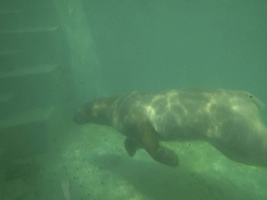 間近で泳ぐシロクマ