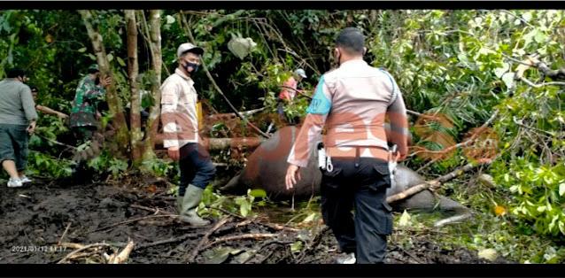 Seekor Gajah Betina Di Temukan Di Kecamatan Pintu Rime Gayo