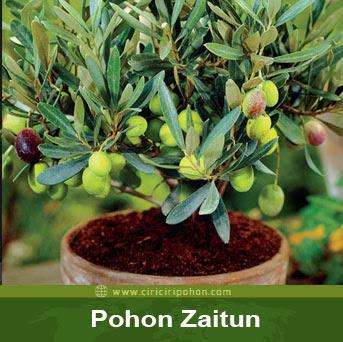 ciri ciri pohon zaitun