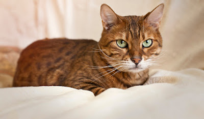 A brown tabby cat sits all tucked in on a white bed