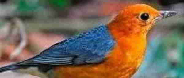 Cara Merawat Burung Anis Merah Sehari-Hari