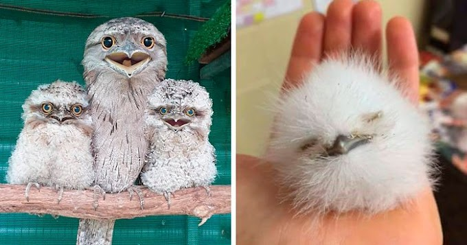 20 Frogmouth Babies That Look Really Adorable