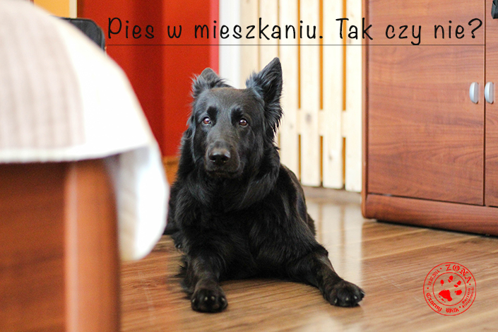 http://www.zonaczarnywilk.pl/2018/08/pies-w-mieszkaniu.html