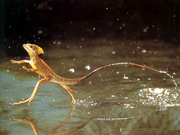 - كائنات حية تستطيع السير على الماء ! reptile-580x435.jpg