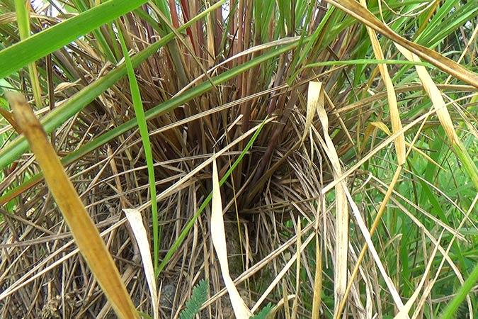 Dlium Citronella grass (Cymbopogon nardus)