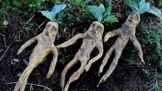 The Supernatural Properties of Mandrake