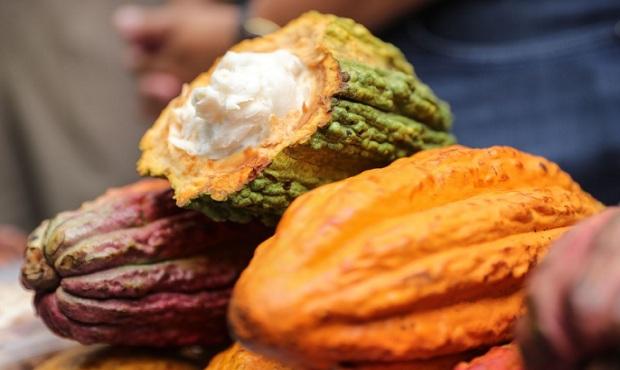 ¡Cacao de bandera! Científicos peruanos usan hongos benéficos que reducen cadmio y plagas