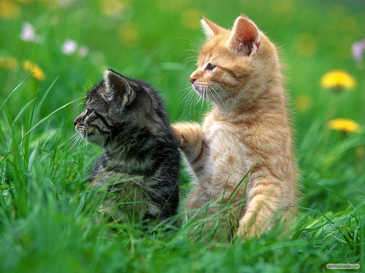 Hewan Anak Kucing Anggora Images Hewan Lucu