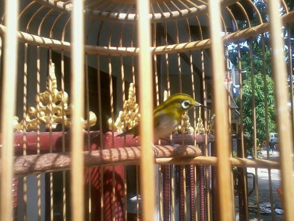 Pleci Auri Jawara Gacor Ngalas Ngerol