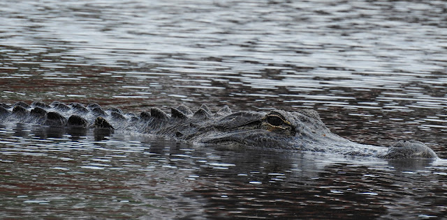 A large gator with well defined spikes on the neck and back.