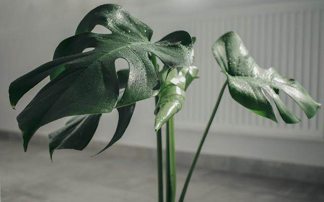 Planta de monstera en el hogar