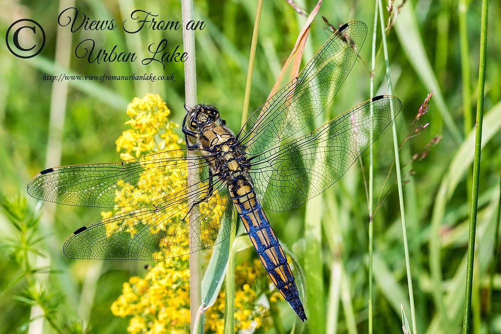 Black-Tailed Skimmer (Immature Male) - Loughton Valley Park, Milton Keynes