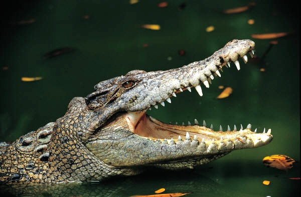 Alligators Mouth 15