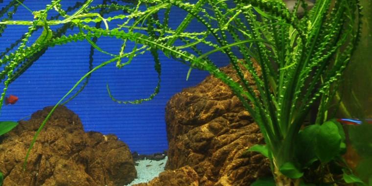 Cây Láng Xoắn trong hồ thủy sinh của Tropica
