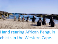 http://sciencythoughts.blogspot.co.uk/2014/11/hand-rearing-african-penguin-chicks-in.html
