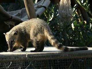 Coati commun - Coati roux - Coati à queue annelée - Nasua nasua