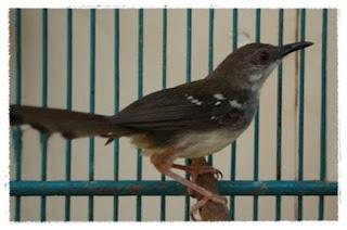 Burung Ciblek - Ciblek macet bunyi: Apa penyebabnya dan bagaimana mengatasinya? - Penangkaran Burung Ciblek