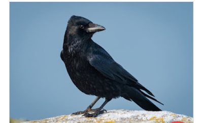 About Crow in hindi