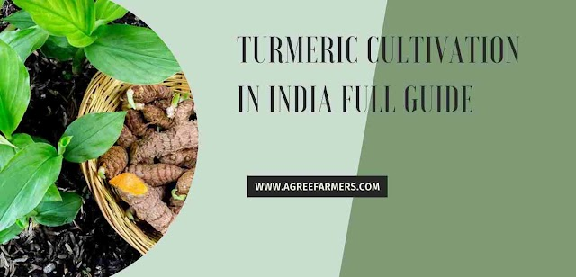 turmeric cultivation in India full guide