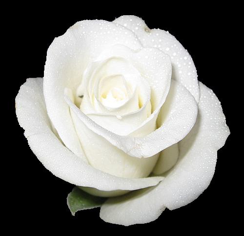 Foto Bunga Mawar Putih - Foto Terbaru 2014